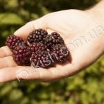 Бойзенберрі (Boysenberry)