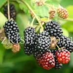 Логанберрі Чорний (Loganberry Black)