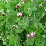 Цвітіння сорту Шираз
