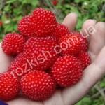 Мяо Мяо (Rubus rosaefolius)