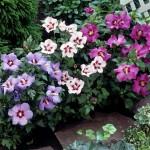 Сирійський гібіскус (садовий)