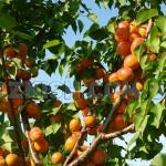 Корисні властивості абрикосів